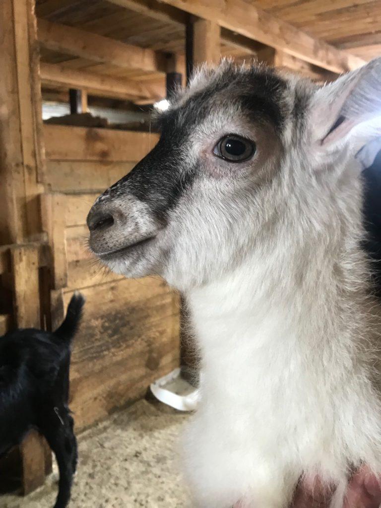 Новорождённых козлят назвали в честь героев «Пчелографии»
